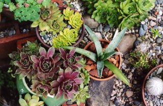 Mixeed Sempervivums and Agave