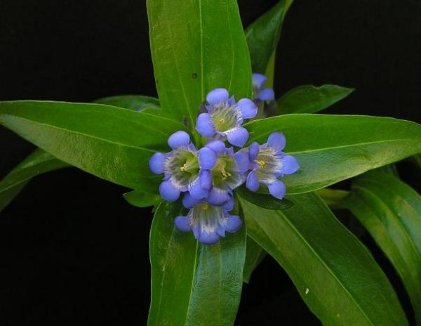 Gentiana dahurica, photo by Todd Boland