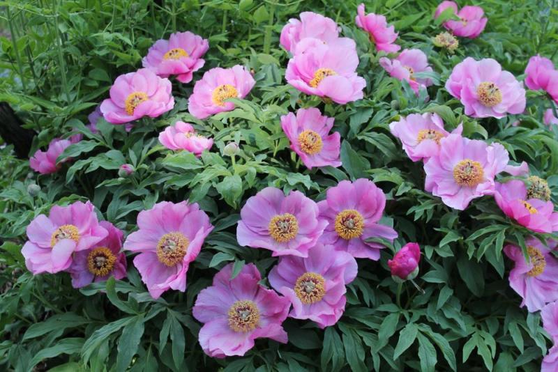 Peonies 2013 forum topic north american rock garden for Paeonia officinalis