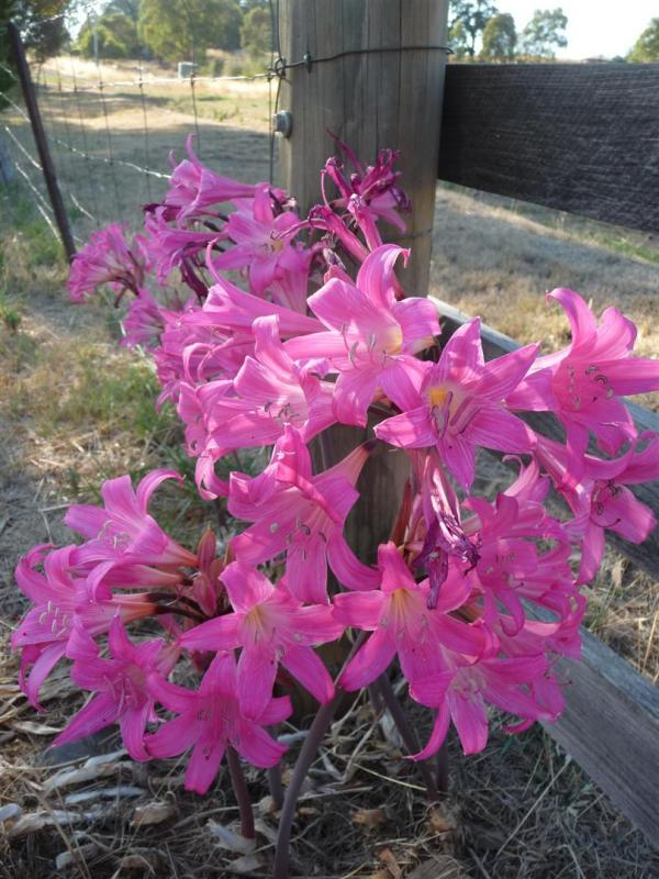 South african bulbs 2015 forum topic north american for Bulbes amaryllis belladonna