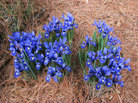 iris reticulata 39 harmony 39 north american rock garden society. Black Bedroom Furniture Sets. Home Design Ideas