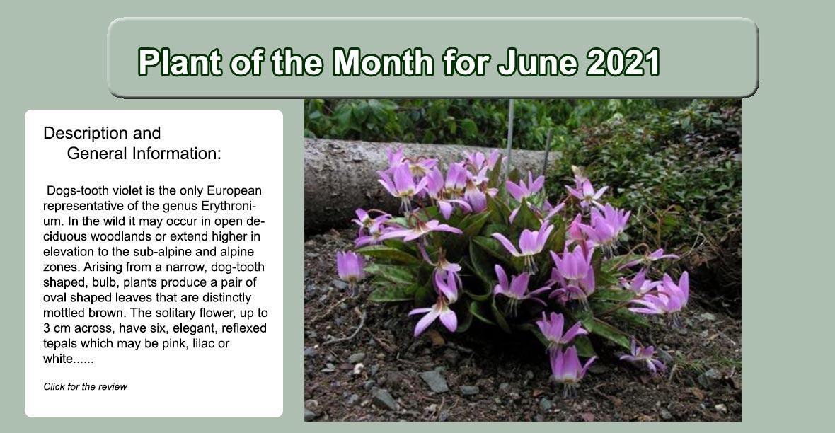 Erythronium dens canis