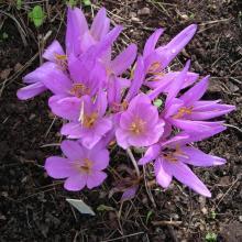 Lavender Colchicum