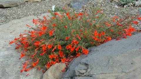 Zauschneria californica v etteri