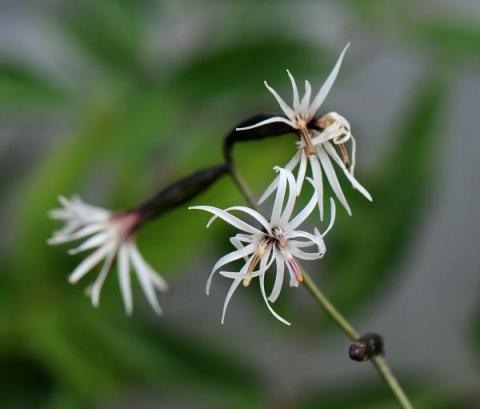 Ainsliaea acerifolia
