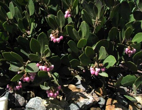 Arctostaphyllos 'Arroyo Cascade'