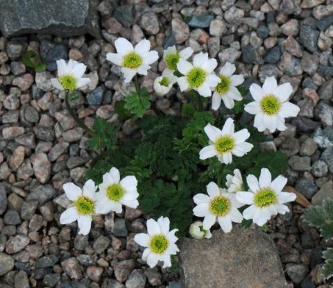 Callianthmum coriandrifolium