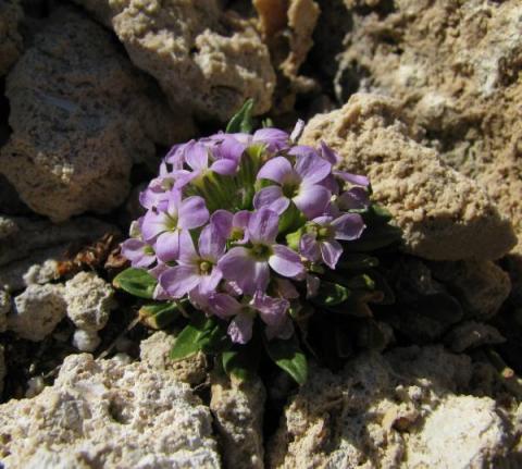 Cheiranthus roseus