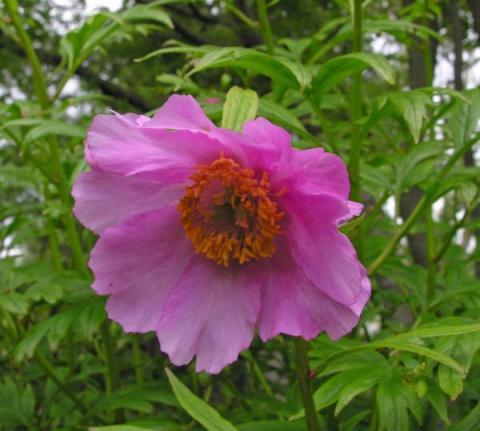 Paeonia veitchii