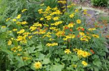 Doronicum orientale and Geum x borisii