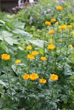 Trollius 'Orange Princess'