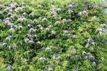 Clematis alpina 'Willy' and self-seeded blue Clematis alpina