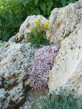 Asperula boissieri; Patrinia sibirica