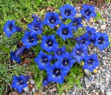 Gentiana angustifolia 'Frei', photo by Todd Boland