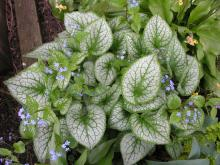 Brunnera macrophylla 'Jack Frost'; photo by Todd Boland