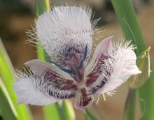 Calochortus tolmiei; photo by Jenny Wainwright-Klein