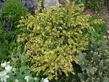 Juniperus communis 'Depressa Aurea'; photo by Todd Boland