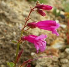 Penstemon newberryi ssp. newberryi