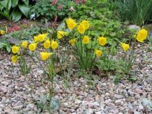 Narcissus bulbocodium colonises the paths