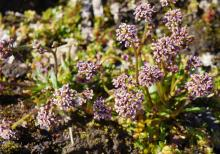 Braya glabella purpurascens