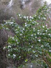 Camillia transnokoensis