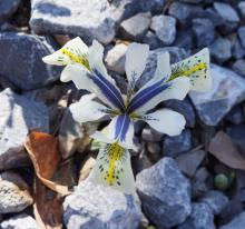 Iris reticulata 'Eye Catcher'