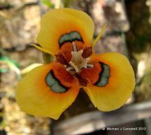 Moraea tulbagensis ( neopavonia.)