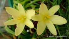 Zephyranthes Primulina