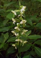 Platanthera chlorantha  in heavy shade in ancient woodland