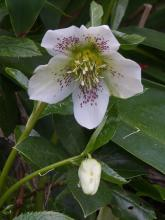 Helleborus hybridus white