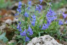 Penstemon virens