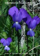 Viola heterophylla subsp. graeca