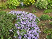 Iris cristata 'Edgar Anderson'