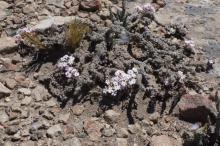 Junellia patagonica