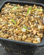 Lilium lophophorum var. linearifolium