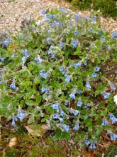 Lithodora oleifolia