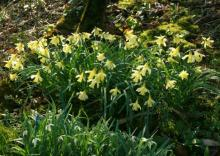 Narcissus pallidiflorus collected LN Pyrenees naturelising in Normandy France