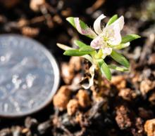D. alpinus seedling, dime for scale