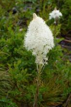 Xerophyllum tenas