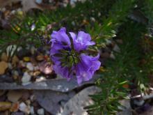 Eremophila densifolia