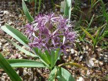 Allium bodeanum