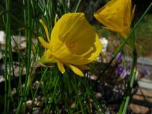 12-petalled Narcissus bulbocodium