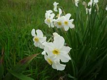 Narcissus x medioluteus