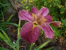 .pink Louisiana Iris