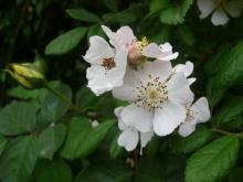 understock -?Rosa multiflora?