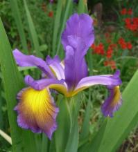 Spuria Iris Fergie's Poetry