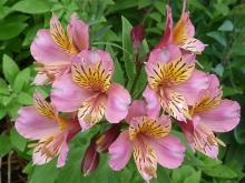 Pink Alstroemeria hybrid