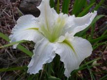 White La iris hybrid