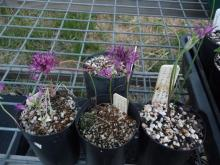 line up of alliums