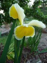 Spuria Iris Barleycorn